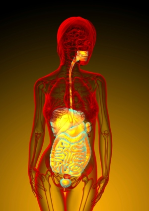 3d render medical illustration of the human digestive system - courtesy of Profbiotics.com