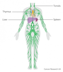 diagram-of-the-lymphatic-system_3